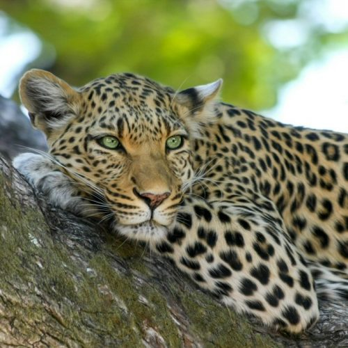 Hugh Mackay Safari Leopard Cataklog shot